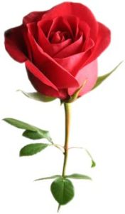 image of a single red rose